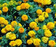 benefits of Marigold flowers