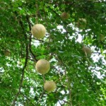 Health Benefits of Wood Apple in Hindi