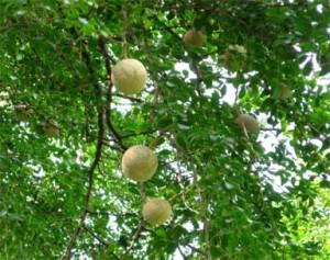 Health Benefits of Wood Apple in Hindi