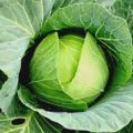Healthy Cabbage Benefits Hindi Article