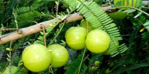 Amla Common Usage in Hindi